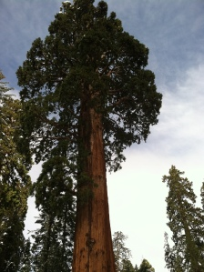 Giant Sequoia trres